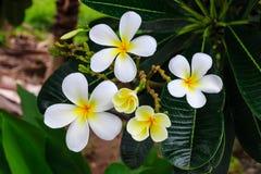 Fleurs blanches après la pluie Images libres de droits