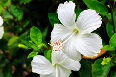 Fleurs blanches après la pluie Photos libres de droits