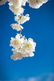 Fleurs blanches artificielles contre le ciel bleu Photos libres de droits