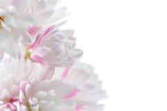 Fleurs blanches assez rosâtres de Scabra de Deutzia sur le fond blanc Image stock