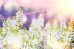Fleurs blanches au foyer sélectif de lever de soleil Photographie stock