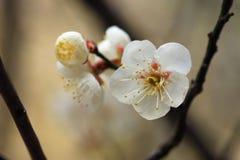 Fleurs blanches avec l'étamine jaune sur une brindille Image stock