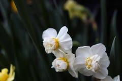 Fleurs blanches avec la branche verte images libres de droits