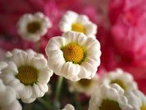 Fleurs blanches avec le fond rose Photographie stock libre de droits