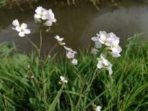 Fleurs blanches avec le fond vert de nature et d'eau Images stock
