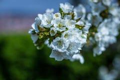 Fleurs blanches avec les feuilles vertes Photographie stock libre de droits