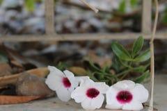 Fleurs blanches avec les sépales roses sur le plancher de ciment Photos stock