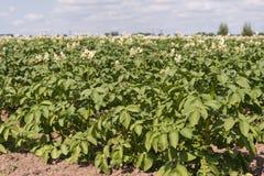 Fleurs blanches avec les stamens jaunes des plantes de pomme de terre Images stock