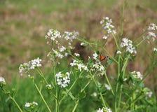 Fleurs blanches avec un papillon Photos libres de droits