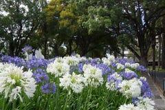 Fleurs blanches bleues d'en à Funchal Image libre de droits
