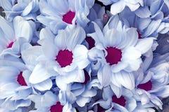 Fleurs blanches bleues de chrysanthème Image libre de droits