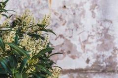 Fleurs blanches Bush à l'arrière-plan du vieux mur images libres de droits