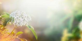 Fleurs blanches d'aîné au-dessus de fond de nature de jardin ou de parc, bannière Photographie stock libre de droits