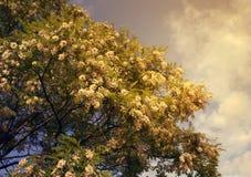 Fleurs blanches d'acacia Photographie stock libre de droits