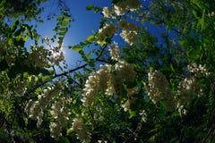 Fleurs blanches d'acacia parmi le feuillage vert photo libre de droits