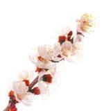 Fleurs blanches d'amande Photographie stock libre de droits