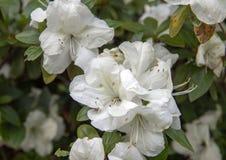 Fleurs blanches d'Amaryllis, Dallas Arboretum photographie stock