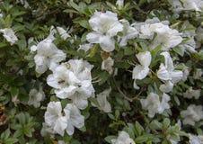 Fleurs blanches d'Amaryllis, Dallas Arboretum images libres de droits