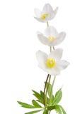Fleurs blanches d'anémone photographie stock