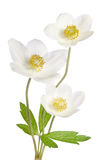 Fleurs blanches d'anémone image stock