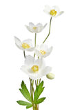 Fleurs blanches d'anémone photo libre de droits
