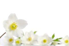 Fleurs blanches d'anémone photos libres de droits