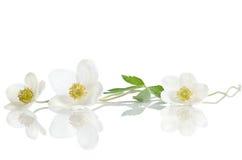Fleurs blanches d'anémone images stock