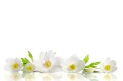Fleurs blanches d'anémone image libre de droits