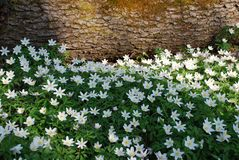 Fleurs blanches d'anémone en bois Photos stock