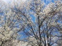 Fleurs blanches d'arbre de cornouiller au printemps photos libres de droits