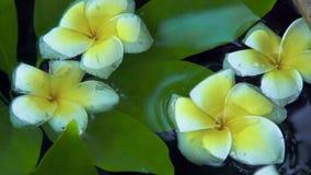 Fleurs blanches d'arbre de Plumeria et feuilles vertes sur la fin de surface de l'eau  Belles fleurs de frangipani et feuilles de clips vidéos
