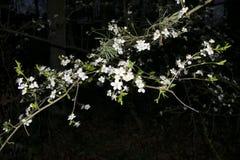 Fleurs blanches d'arbre pendant la nuit Photo stock