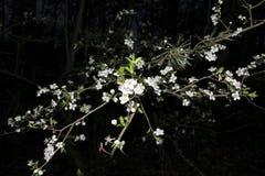 Fleurs blanches d'arbre pendant la nuit Image stock