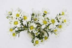 Fleurs blanches d'aster d'isolement sur le fond blanc photo libre de droits