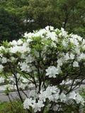 Fleurs blanches d'azalée Photos libres de droits