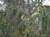 Fleurs blanches d'eucalyptus et nouveau bourgeon sur une branche une journ?e de printemps mallee bleu-leaved d'huile Polybractea  images libres de droits