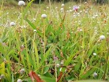 Fleurs blanches d'herbe photographie stock libre de droits