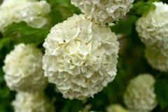 Fleurs blanches d'hortensia dans le jardin d'?t? images libres de droits