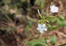 Fleurs blanches d'Inde occidentale de Ghat Images libres de droits