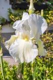 Fleurs blanches d'iris dans un jardin Photographie stock libre de droits