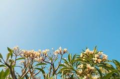 Fleurs blanches d'isolement Photographie stock libre de droits