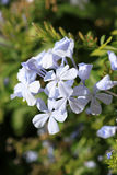 Fleurs blanches d'ixora Images libres de droits