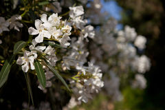 Fleurs blanches d'oléandre Images libres de droits