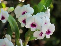 Fleurs blanches d'orchidée sur le fond de nature La fleur d'orchidée de Phalaenopsis est de belles fleurs tropicales Photo libre de droits