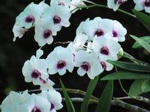 Fleurs blanches d'orchidée sur le fond de nature La fleur d'orchidée de Phalaenopsis est de belles fleurs tropicales Images stock