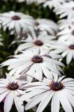 Fleurs blanches d'Osteospermum. Image stock