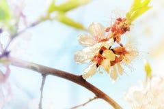 Fleurs blanches d'un acacia sur une branche dans la perspective de Photographie stock