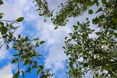 Fleurs blanches d'un pommier Image stock