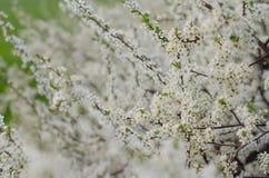 Fleurs blanches d'une floraison Images libres de droits