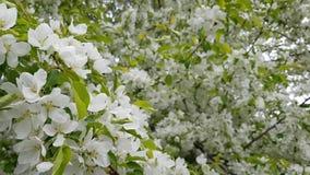 Fleurs blanches d'une vague d'Apple-arbre sur le vent banque de vidéos